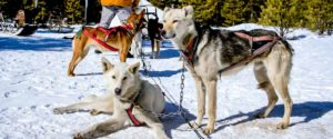 dogsledding in big sky | big sky winter activities